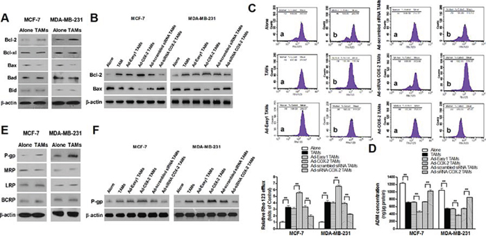 COX-2 in TAMs increases the expression of Bcl-2 and P-gp and decreases Bax expression in breast cancer cells.