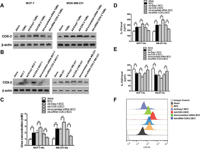 COX-2 in TAMs induces the expression of COX-2 in breast cancer cells, which in turn, promotes macrophage polarization to M2 phenotype.