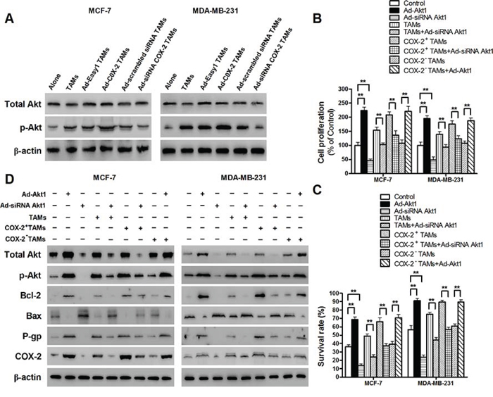 COX-2 in TAMs enhanced the activation of PI3K/Akt pathway in breast cancer cells.