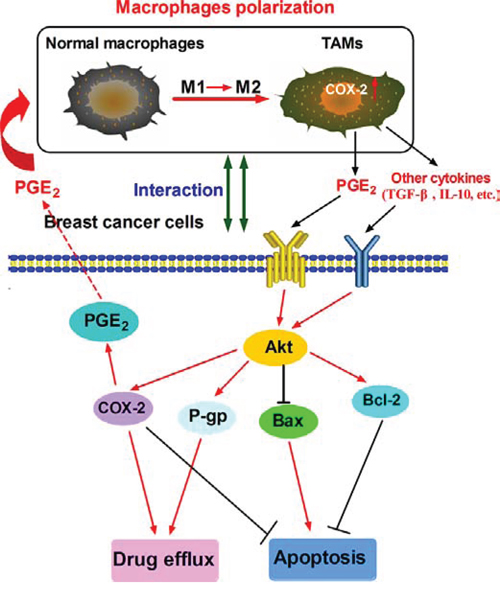 Proposed mechanistic model showing COX-2+ TAMs-induced cell survival in breast cancer.
