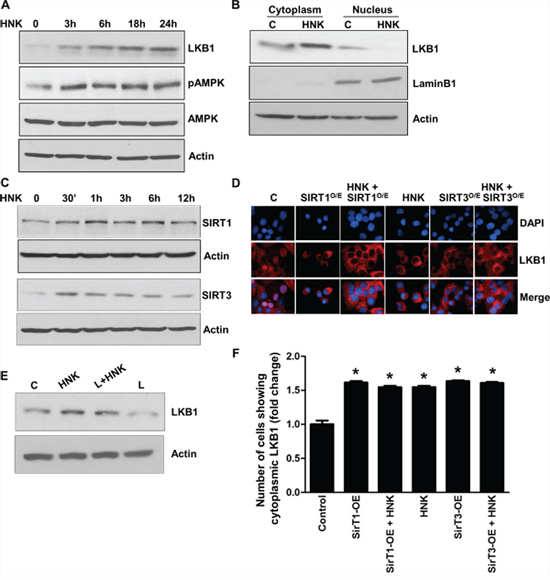 Honokiol induces the expression and cytoplasmic localization of tumor suppressor LKB1 and involvement of SIRT1/3.