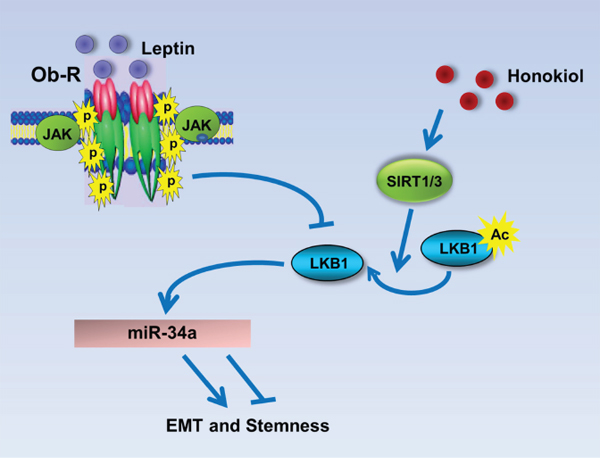 Schematic representation of the mechanism whereby HNK inhibits leptin-induced EMT and stemness via LKB1 and miR-34a.