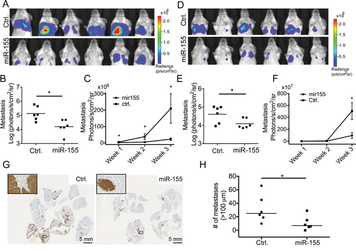 miR-155 decreases the tumor burden in lungs after i.v. injection.