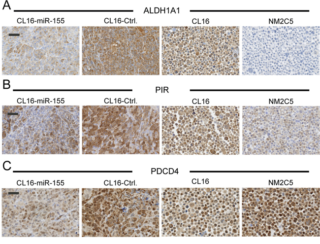 Lower expression of putative miR-155 targets in xenograft tumors with high miR-155 expression.