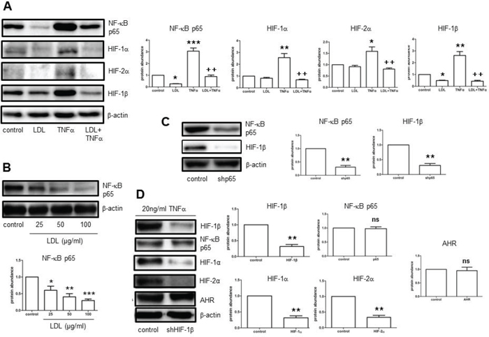 LDL inhibits NF-κB-dependent expression of HIF-1β induced by TNFα in hCMEC/D3 cells, resulting in HIF-1α and HIF-2α down-regulation in normoxia.