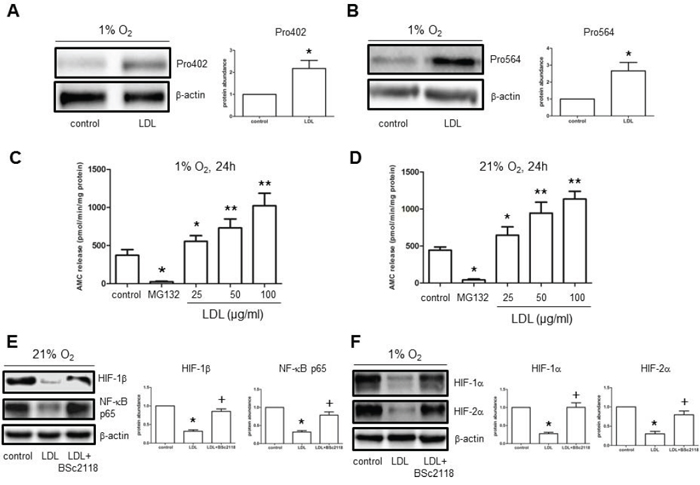 LDL induces HIF-1α hydroxylation at Pro402 and Pro564 sties, while increases 20S proteasome activity in hCMEC/D3 cells.