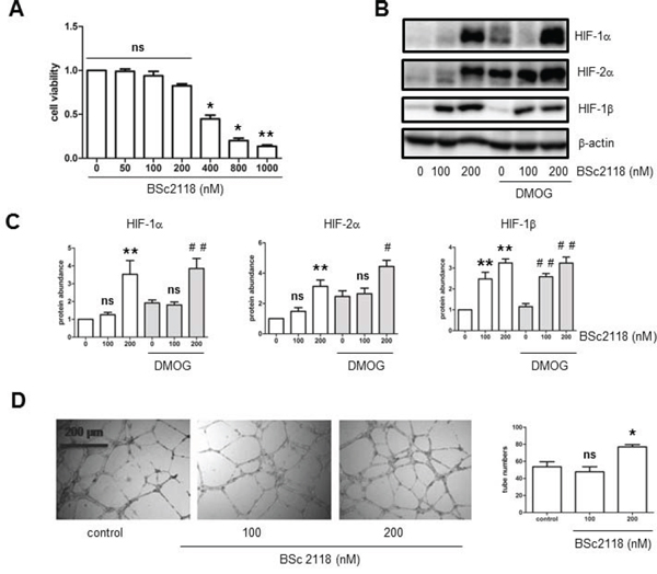 The proteasome inhibitor BSc2118 induces tube formation of hCMEC/D3 cells, in association with HIF-1α and HIF-2α accumulation.