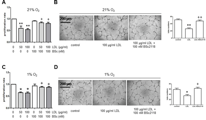 The proteasome inhibitor BSc2118 restores LDL-attenuated proliferation and tube formation of hCMEC/D3 cells in both normoxia and hypoxia.