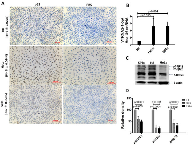 Comparison of VTRNA2-1-5p expression in three cervical cell lines with low p53 expression.