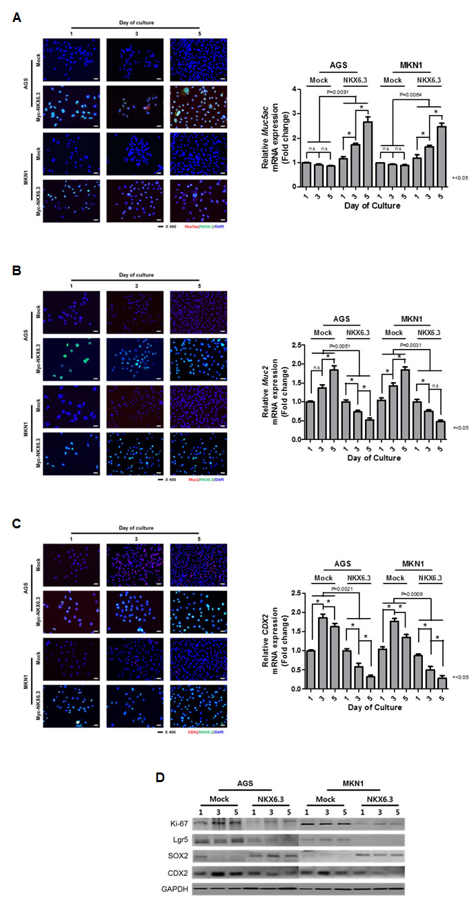 NKX6.3 regulated gastric cell differentiation.
