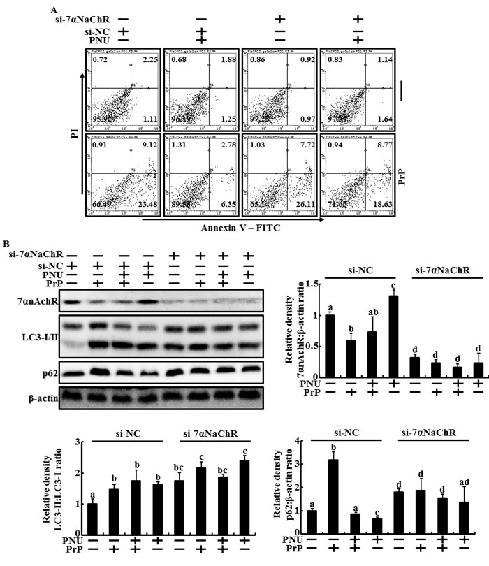 Knockdown of α7nAchR inhibited the PNU-282987-mediated neuroprotective effect and autophagic flux in primary neuron cells.