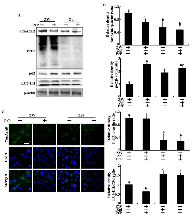Depletion of PrPC and PrP(106-126) inhibited the alpha 7 nAchR expression and autophagic flux in hippocampal neuron cells.