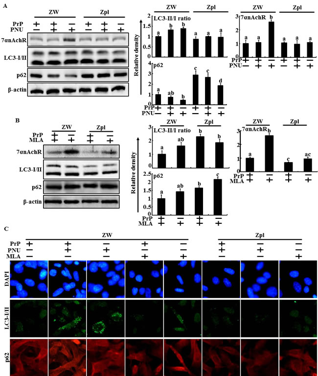 PrPC depletion influence to alpha 7 nAchR-mediated autophagic flux in PrP(106-126)-treated hippocampal neuron cells.