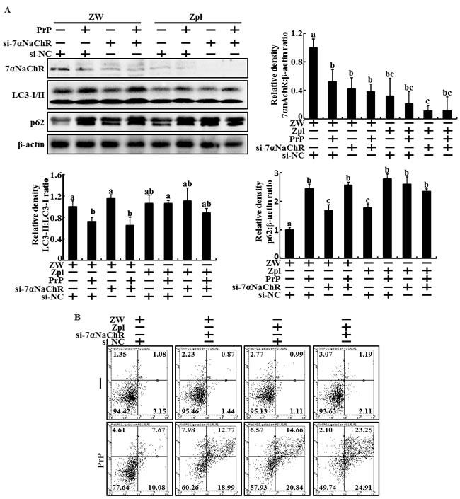 α7nAchR-mediated autophagic flux regulates by PrPC expression in PrP(106-126)-treated Hippocampal neuron cells.