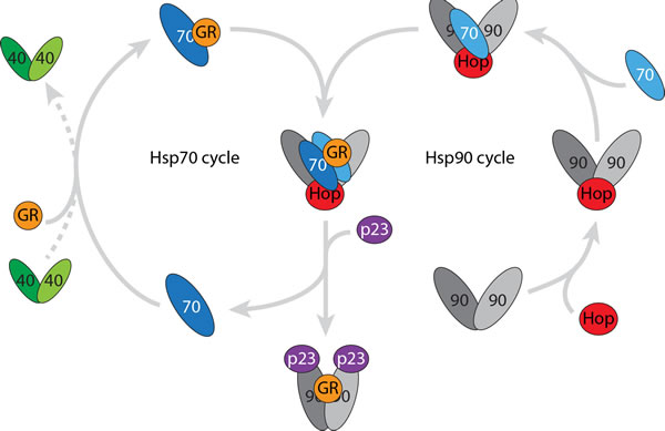 A stable intermediate is formed when the Hsp90 and Hsp70 cycles come together.