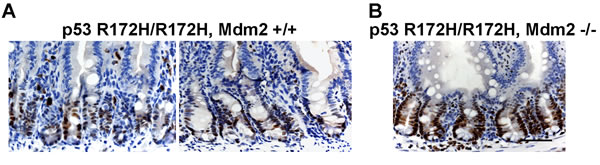 Increased mutp53 protein level in Mdm2 -/- mouse small intestine.