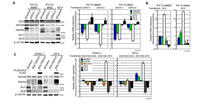 Up-regulation of ANXA8 and FGFR3 is GLI -independent.