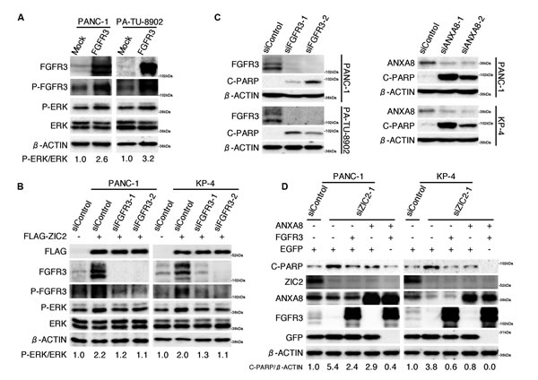 ANXA8 and FGFR3 cooperatively rescue PDAC cells from apoptotic cell death triggered by ZIC2 knockdown.