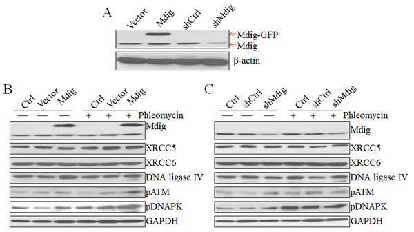 Regulation of the NHEJ repair signaling by mdig.