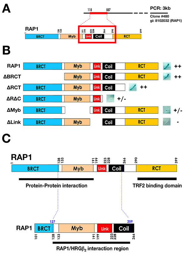 Y2H mapping of the region of RAP1 that interacts with HRGβ2.