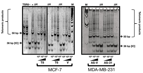 HRGβ2 does not modify telomerase activity in breast cancer cells.