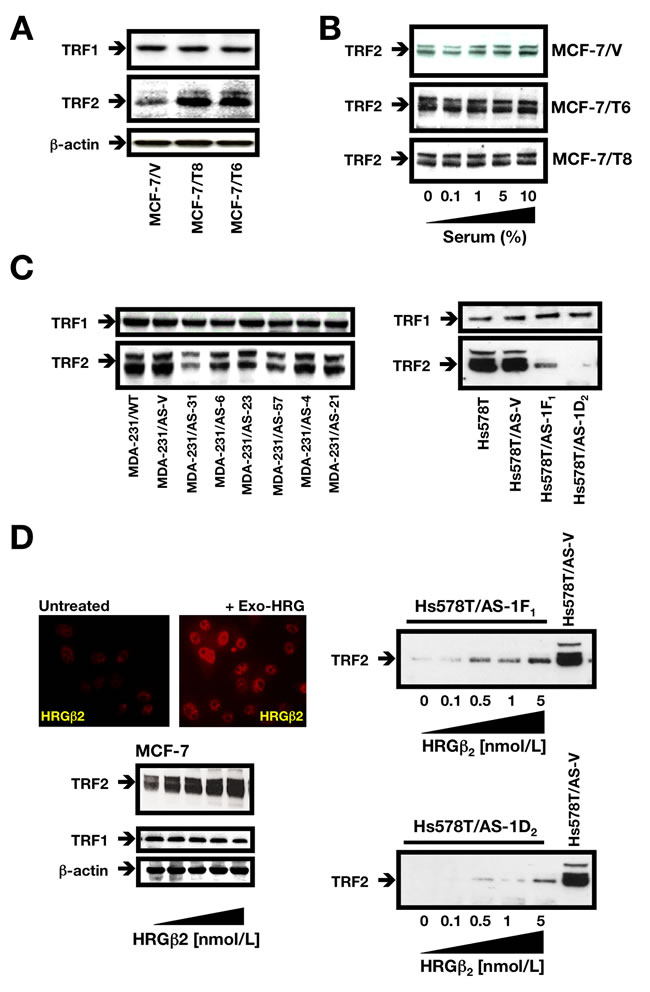 HRGβ2 regulates TRF2 expression in breast cancer cells.