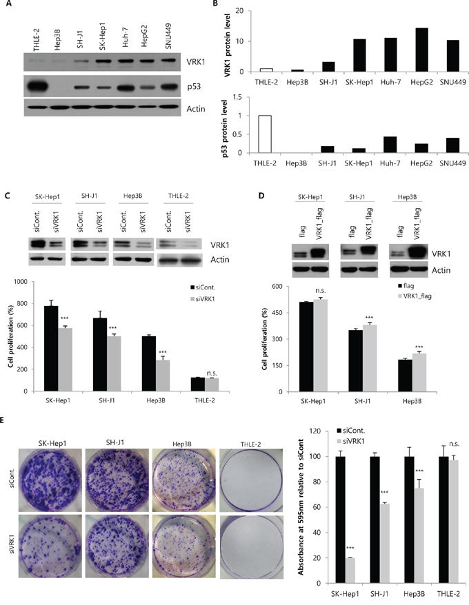 Regulation of HCC cell growth by VRK1 in vitro.