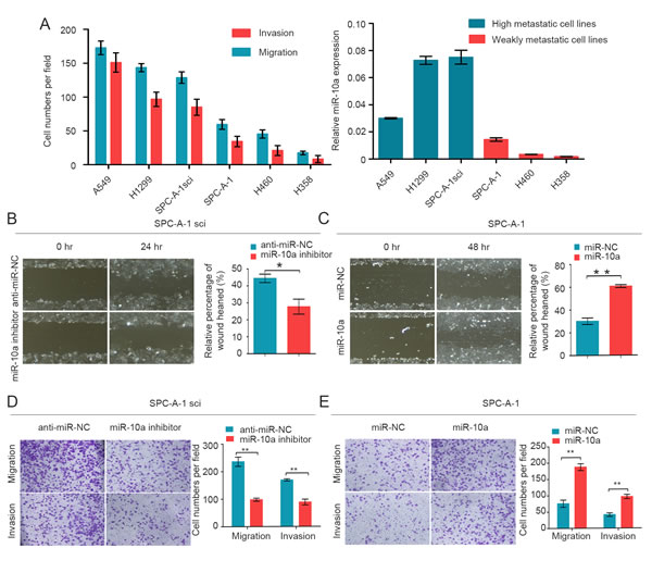 MiR-10a is increased in high metastatic cancer cells and promotes migration and invasion of NSCLC cells.