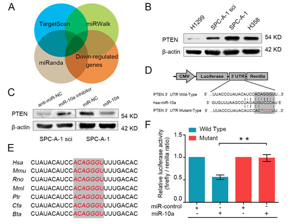 PTEN is a direct target gene of miR-10a.