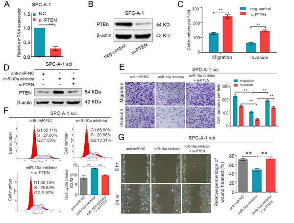 PTEN is involved in the miR-10a-induced promotion of NSCLC cell growth and metastasis.