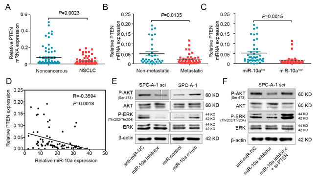 MiR-10a is inversely correlated with PTEN in NSCLC and mediates the activation of AKT and ERK.