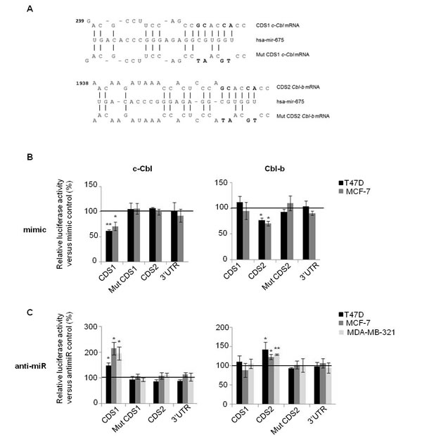 MiR-675 directly targeted on c-Cbl and Cbl-b through interaction with coding sequences.