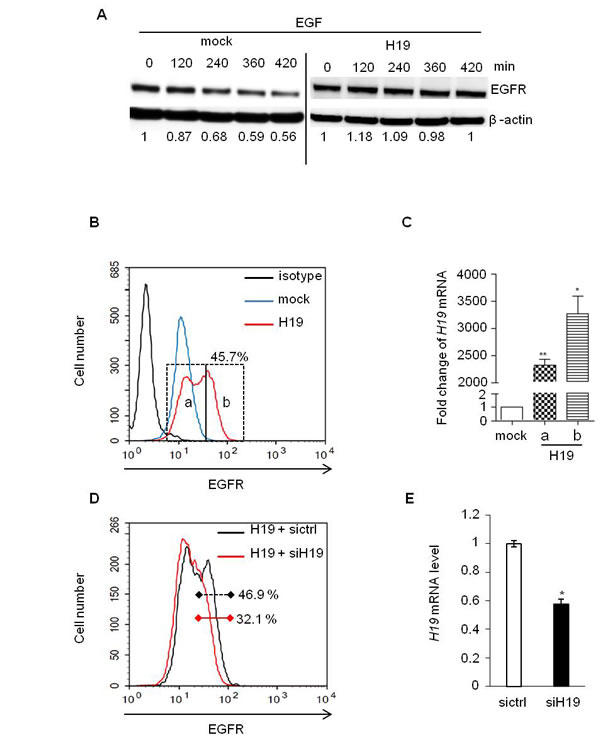 EGF-induced EGFR downregulation was prevented in