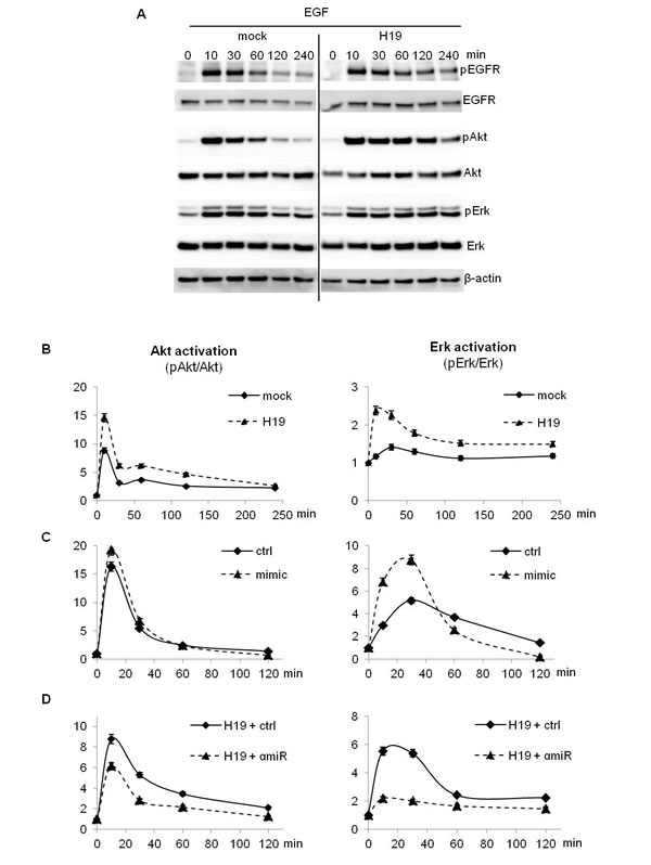EGF-induced Akt and Erk phosphorylation was enhanced in