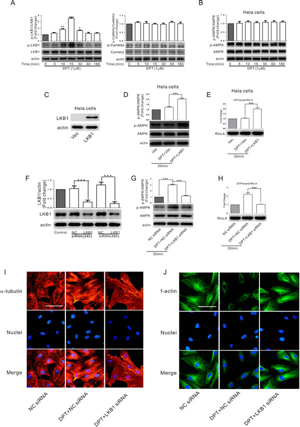 LKB1-dependent AMPK activation was involved in DPT-mediated cytoskeletal remodeling in HUVECs.