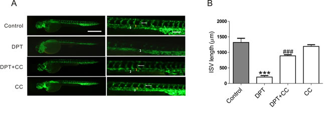 DPT-mediated intersegmental vessel (ISVs) defects in zebrafish through AMPK activation.