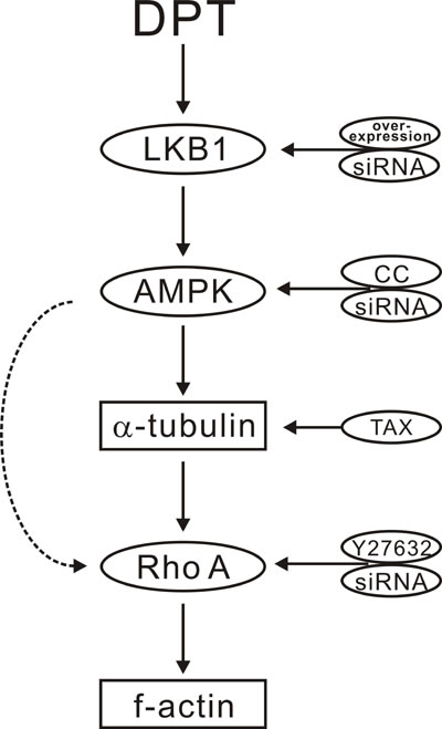 Scheme for the proposed mechanisms of deoxypodophyllotoxin (DPT) promoting cytoskeleton remodeling mediated by the LKB1-AMPK signaling pathway.