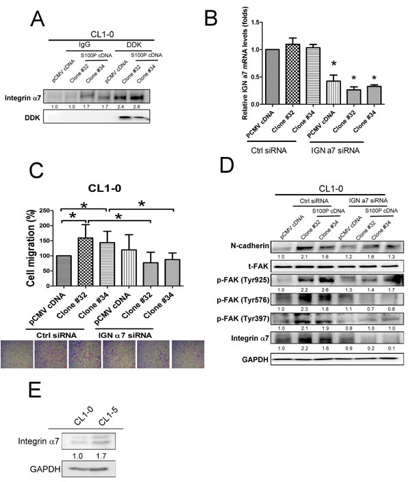 Integrin α7 was involved in S100P-mediated cancer progression.