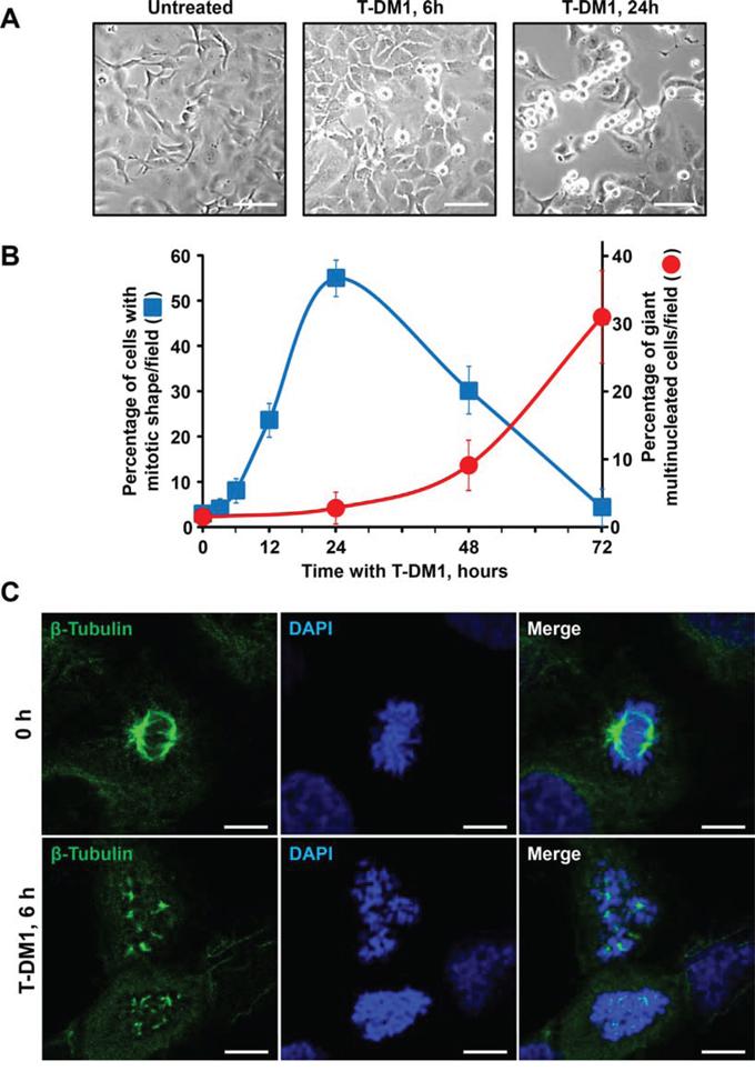 Mitotic arrest caused by T-DM1 in SKOV3 cells.