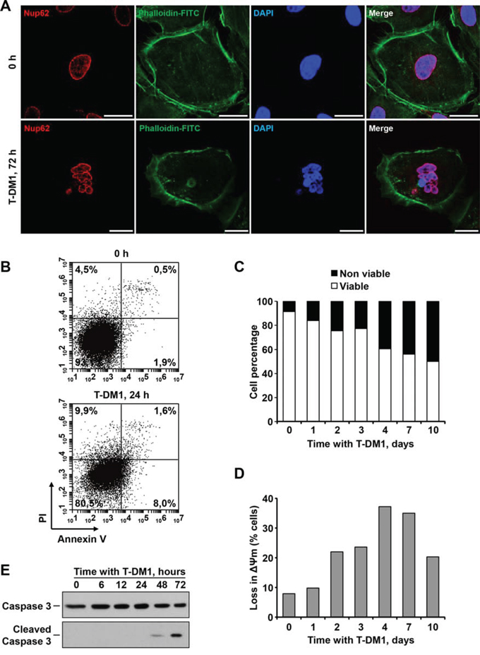 T-DM1 provokes multinucleation and mitotic catastrophe in SKOV3 cells.