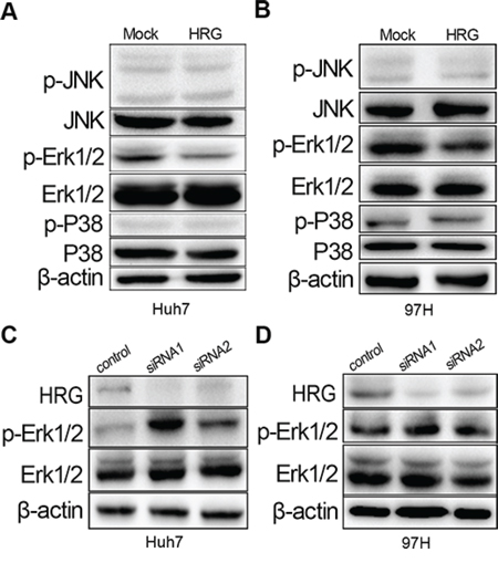 HRG could inhibit cell proliferation via the MAPK-Erk1/2 signaling pathway by reducing Erk1/2 phosphorylation.