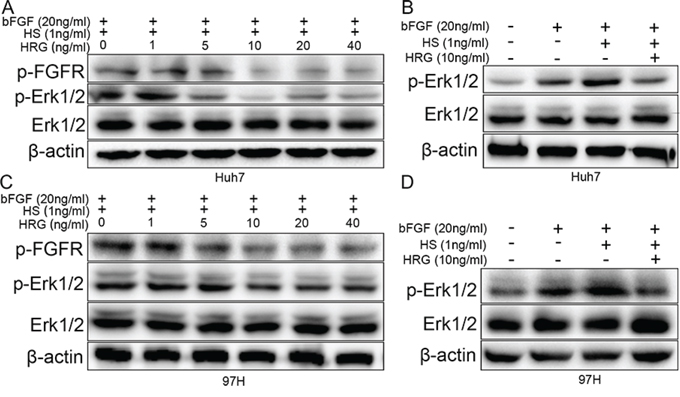 HRG could compete with FGF to bind to HS and finally suppress Erk1/2 phosphorylation via the FGF-Erk1/2 signaling pathway.