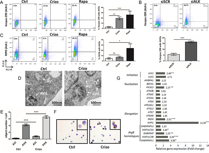 Induction of autophagy upon ALK inactivation in NPM-ALK-positive Karpas-299 ALCL cells.