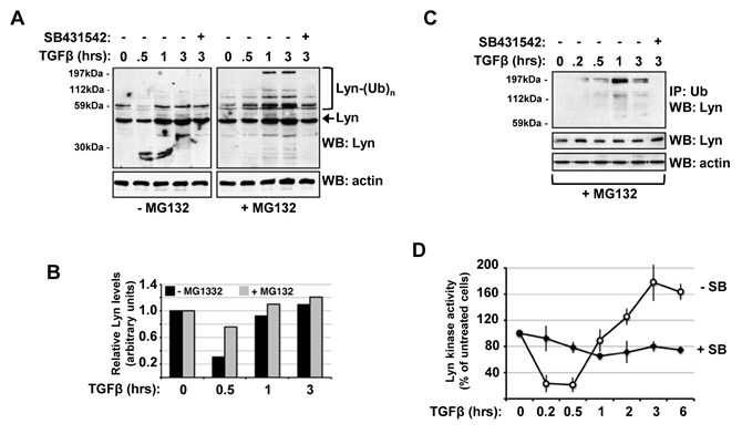 TGFβ-induced Lyn ubiquitination generates a burst of Lyn kinase activity in CML cells.