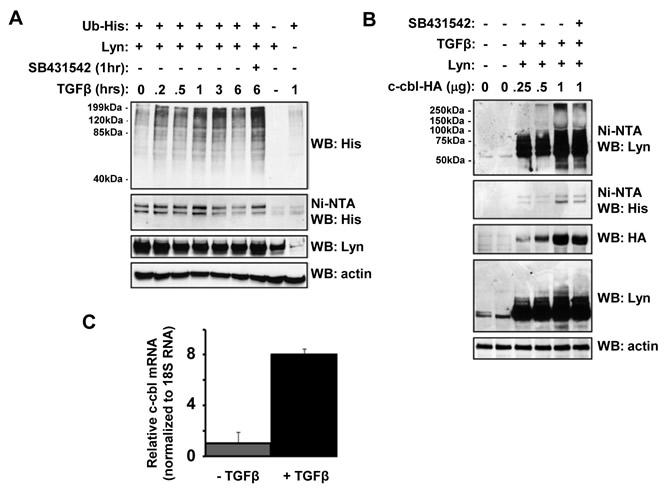 TGFβ stimulates c-cbl-dependent Lyn ubiquitination.