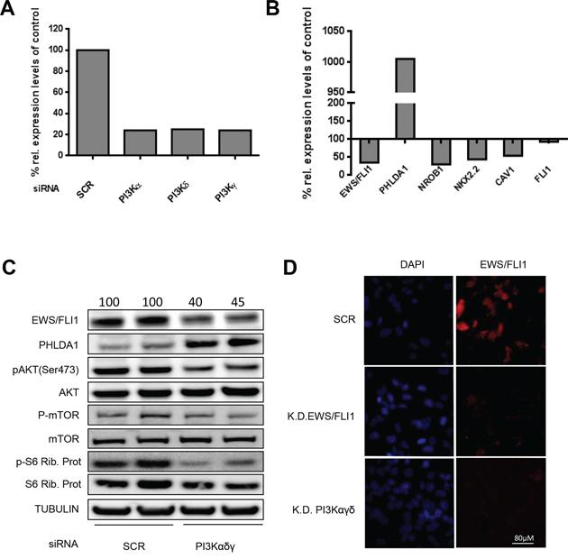 Modulation of EWS/FLI1 and target genes after PI3K pathway silencing.