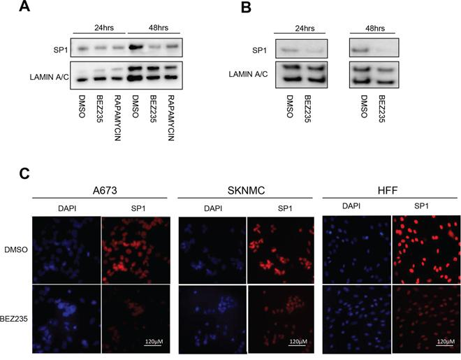 BEZ235 treatment affects SP1 levels.