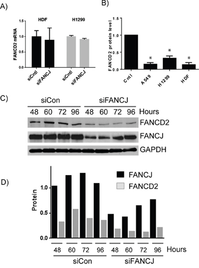 FANCJ regulates FANCD2 concentration at the protein level.