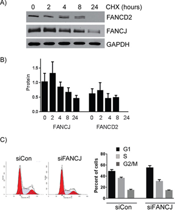 FANCJ protein is more stable than FANCD2 and does not significantly alter the cell cycle profile.