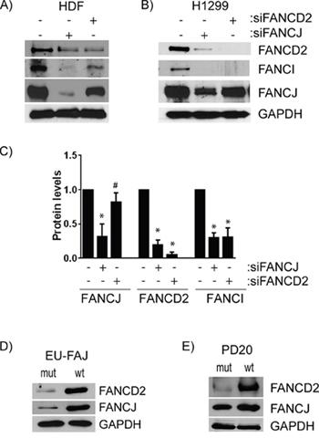 FANCJ regulates FANCD2 stability, but FANCD2 has little to no effect on FANCJ protein levels.